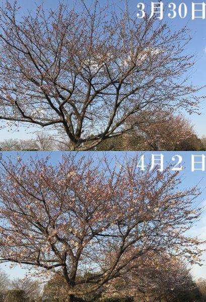 2017白岡桜3
