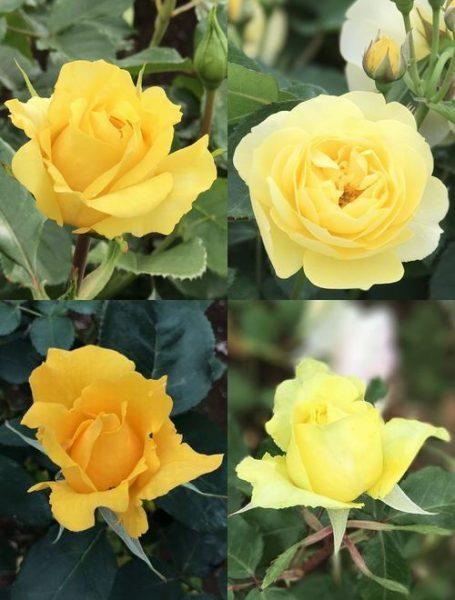 バラ黄連結②