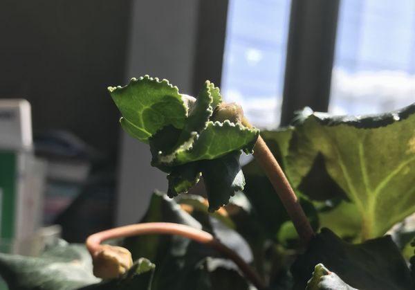 シクラメンの葉①