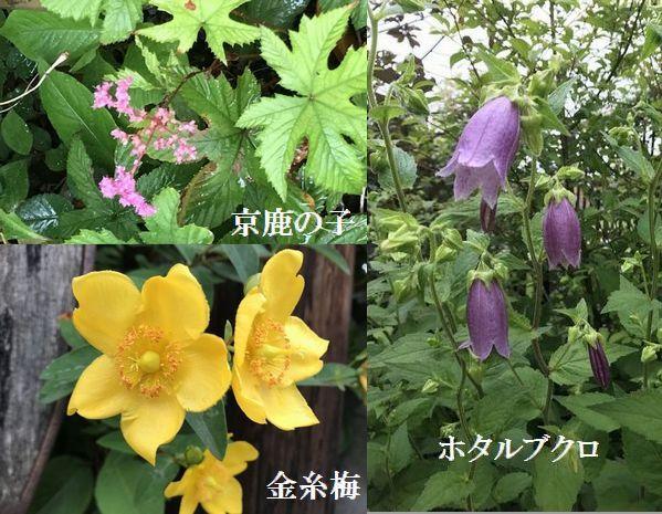 ②2018京鹿の子・金糸梅・ホタルブクロ