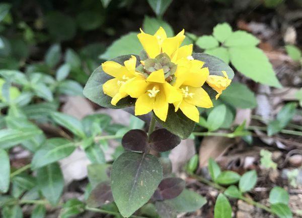 ⑧2018黄色い花