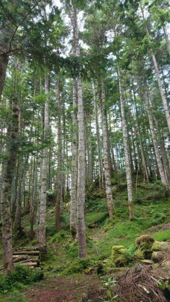 ダケカンバの森①