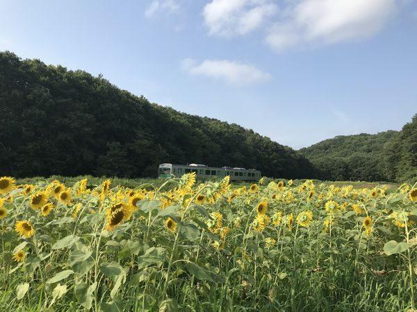 小塙・猿久保田んぼ・ひまわり畑②