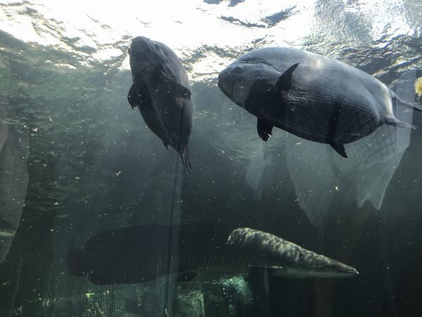 巨大淡水魚