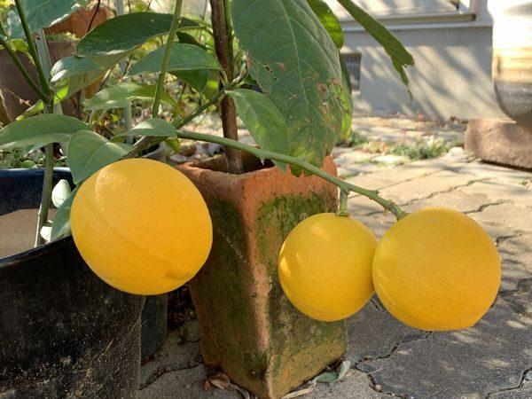 2019レモン