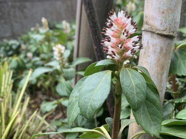 フッキソウ、っぽい花