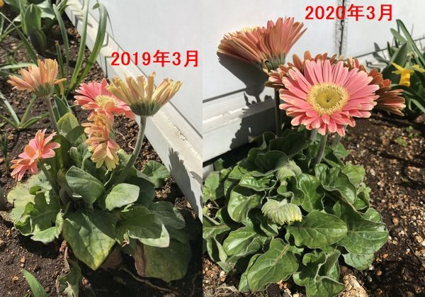 2019年・20年ガーベラ比較