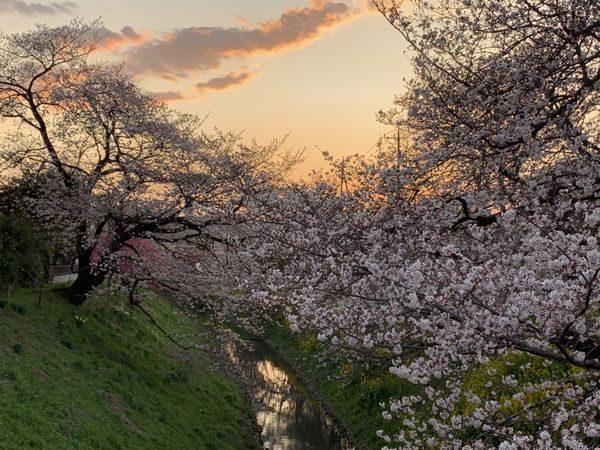 2020・3・22高台橋桜①