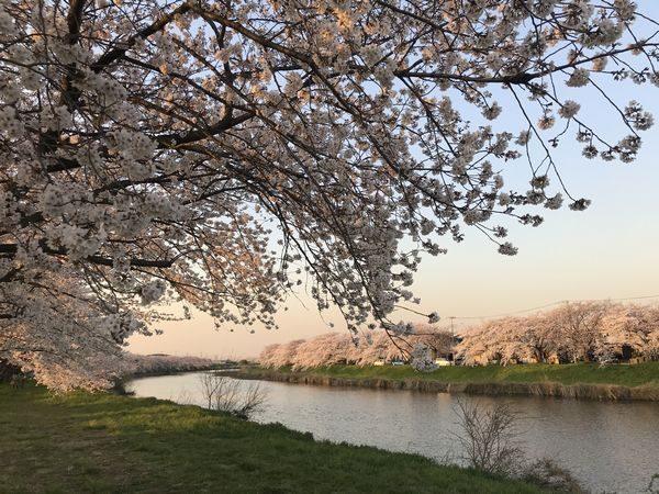 2020・3・26今宮橋・桜②