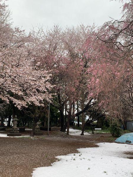 2020・3・29雪と桜②