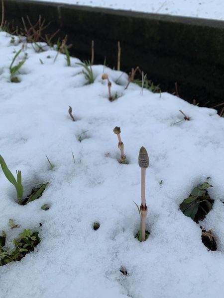 2020・3・29雪の中の土筆②