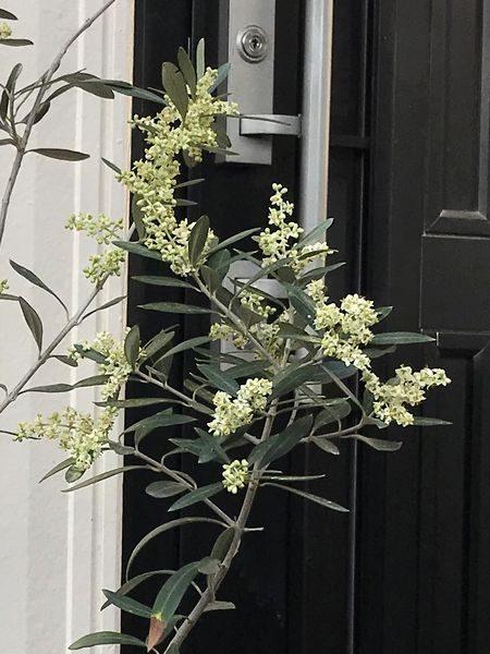 2020・5・26オリーブの花②