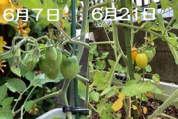2020・6プチトマト収穫