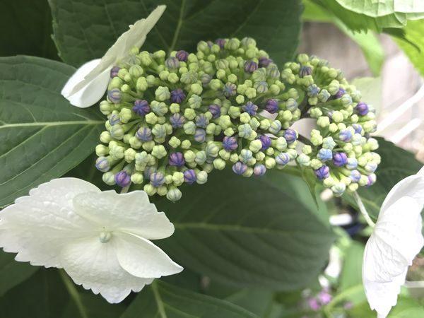 2020・6・2紫陽花