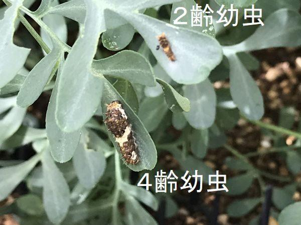 2020・7・30アゲハの幼虫④