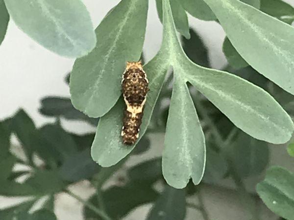 7.30アゲハの幼虫①