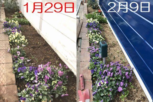 2021・2・8花壇比較