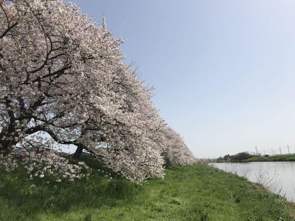 2021・3・31元荒川の桜